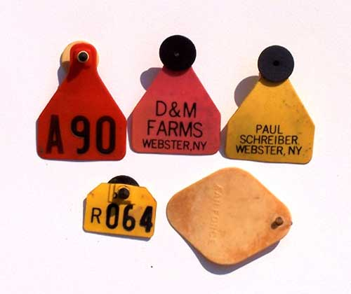 Animal ear tags found on the Buckland Farms property in Brighton New York