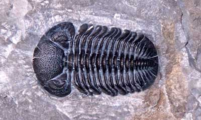 Phacops Rana trilobite was found by Leo on the shores of Lake Erie near Buffalo New York